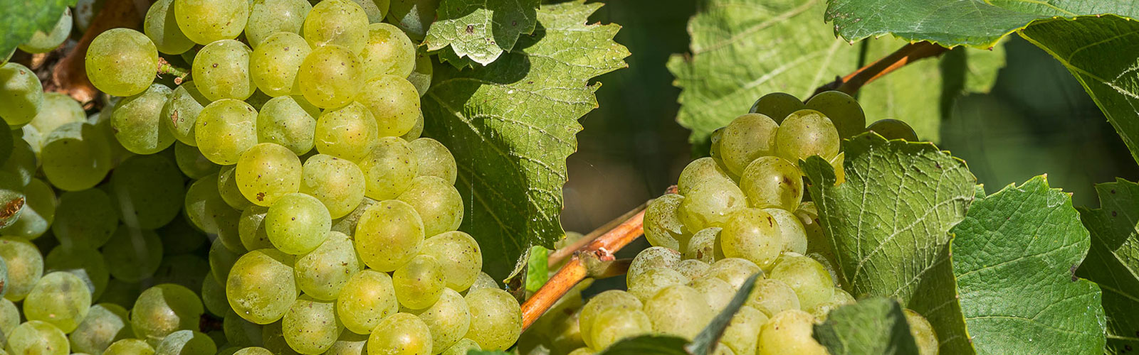 Olivedale Grapes